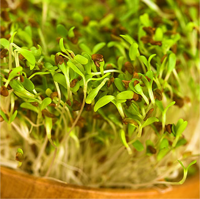 Alfalfa Pet Food Ingredient