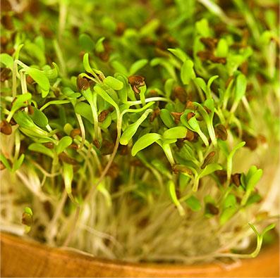 Alfalfa Pet Food Ingredient