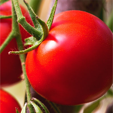 Tomato Pet Food Ingredient